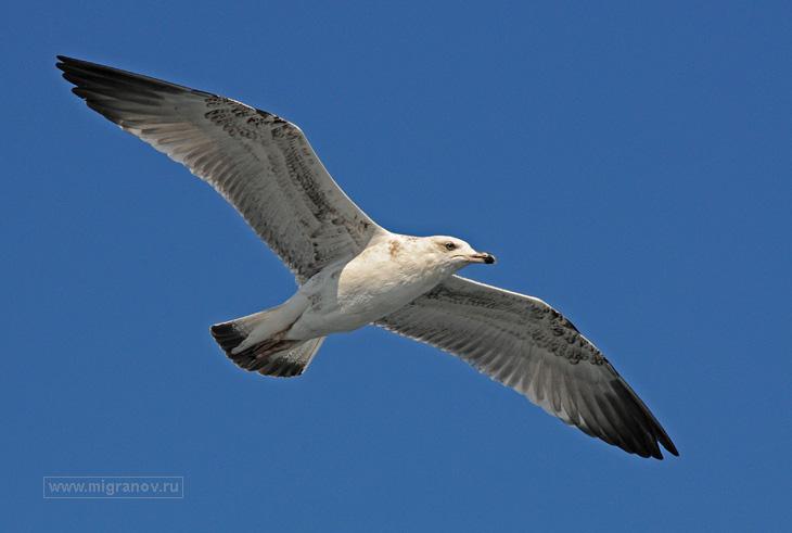 Белая чайка над Чёрным морем, фото ...: migranov.ru/crimea/newsvet/29.php
