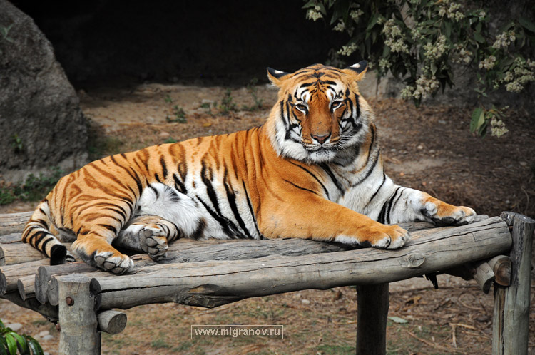 тигр бенгальский животных фото