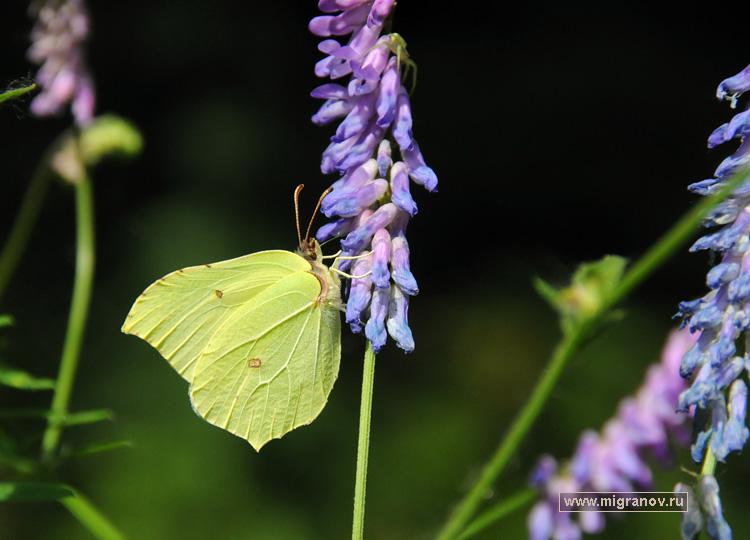 Альбом фотографии жёлтых бабочек