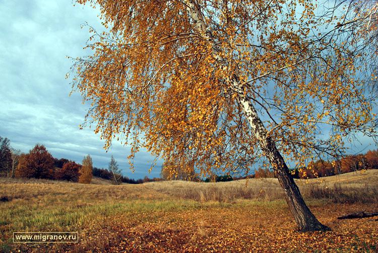 берёза картинки осень