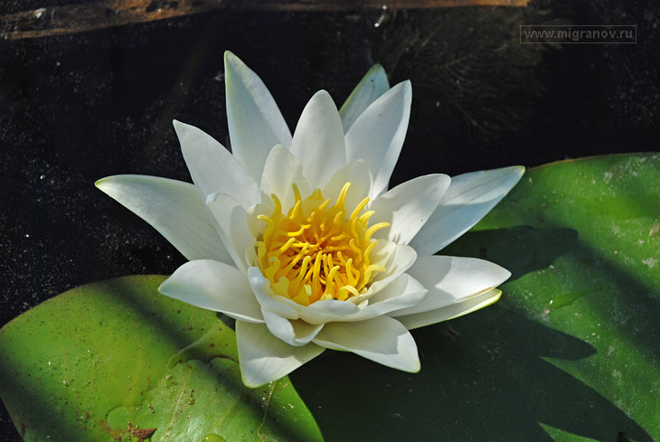 Фото водяной лилии. Фотография болота: http://migranov.ru/photoalbum/flowers/15.php