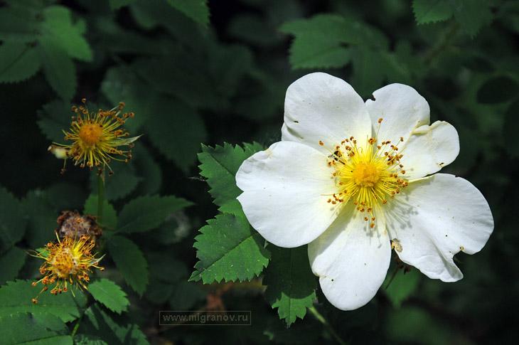 урсиния  цветов
