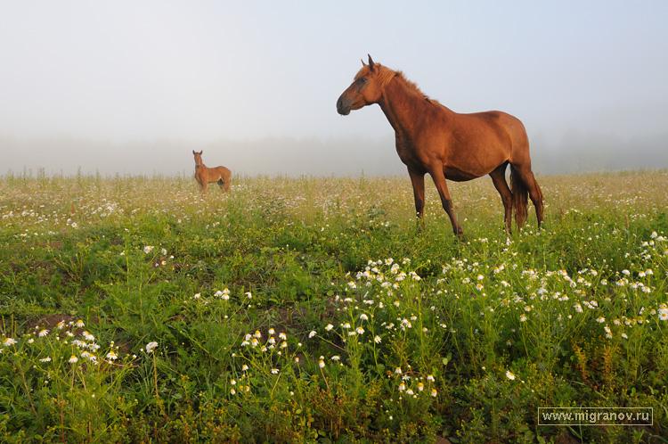 Тревожное туманное утро фото лошадей