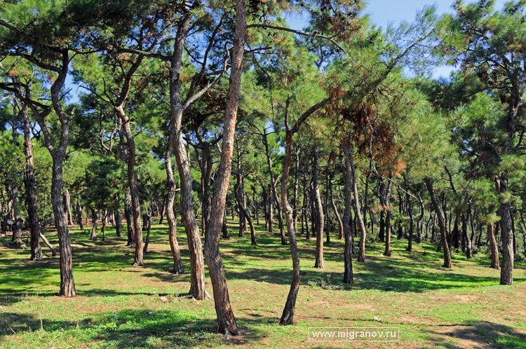 Сосновый лес на острове buyukada